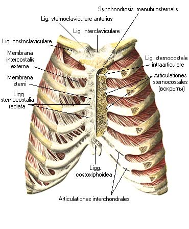 Суставная поверхность головки ребра на латинском растяжение локтевого сустава что делать