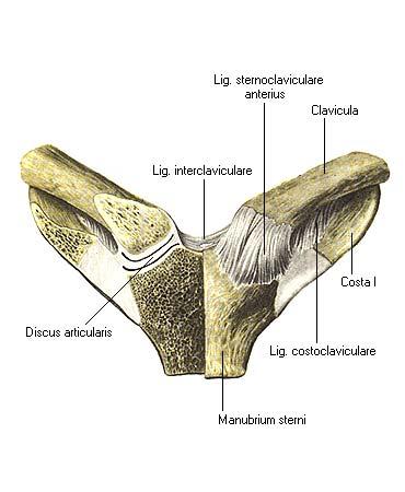 Форма грудино ключичного сустава стафилококковая инфекция в крови болят суставы