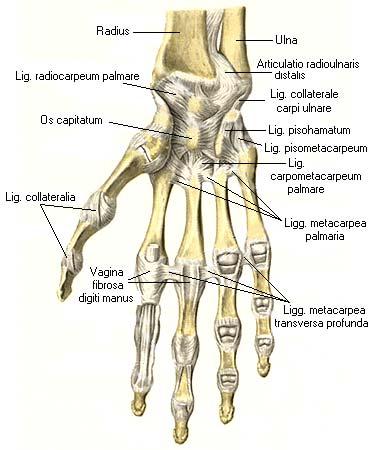 Полость запястно-пястного сустава латынь пластырь от боли в суставах
