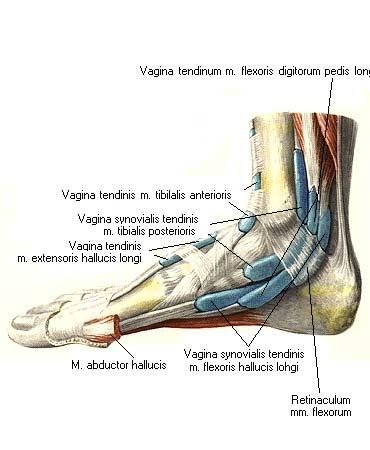 Элементы синовиального влагалища сухожилий мышц