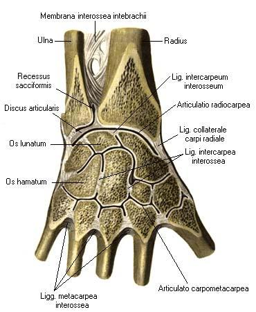 Межзапястные суставы глоссарий артроз реберно позвоночных суставов лечение